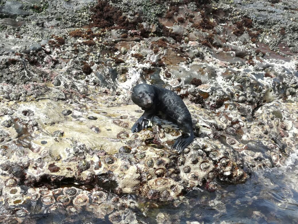 Picture attached: By NSRI Port Elizabeth. One of the seal pups being returned to Black Rock Island.