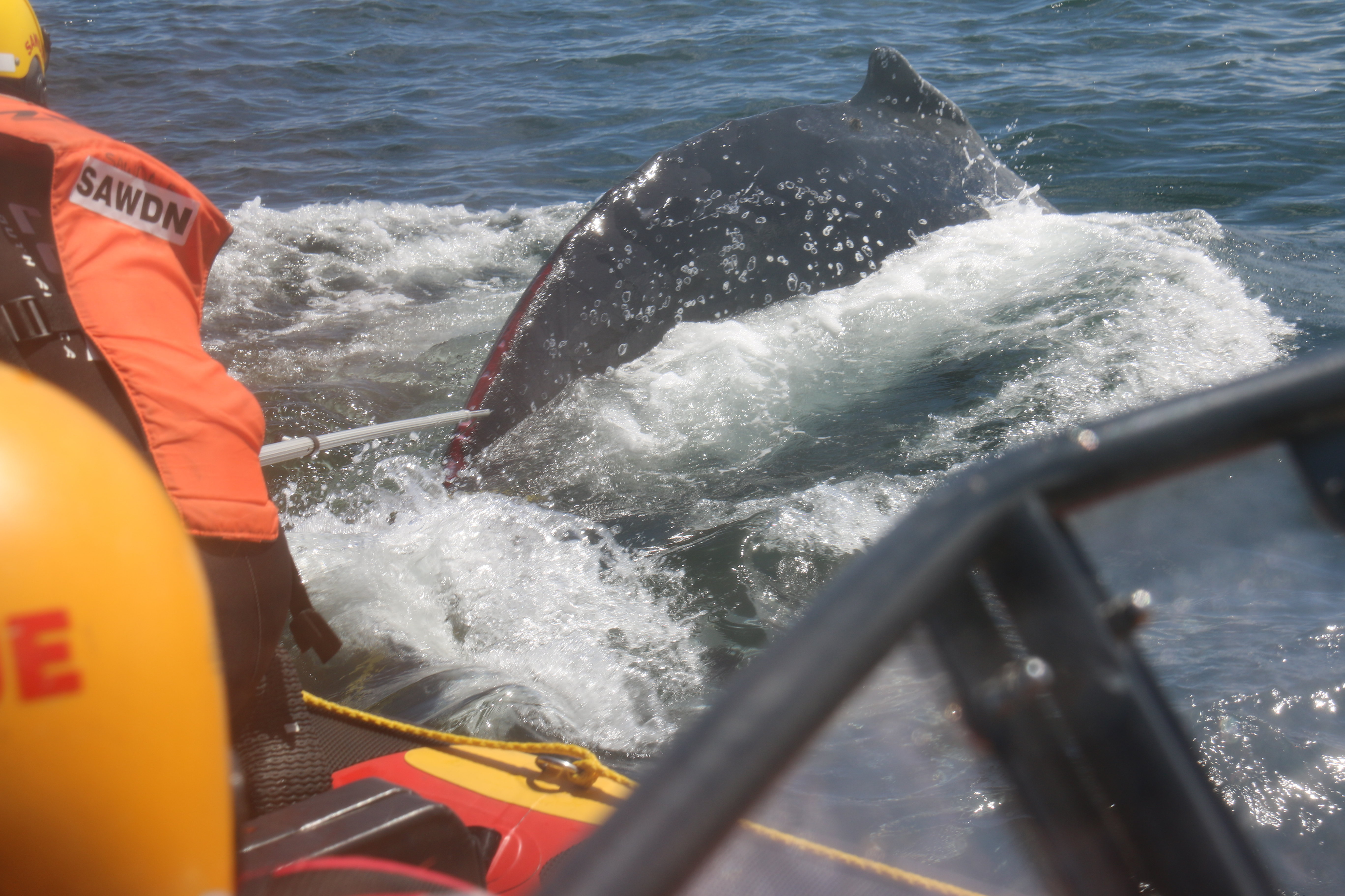 Pictures by SAWDN - show the operation to disentangle two Humpback whales today.