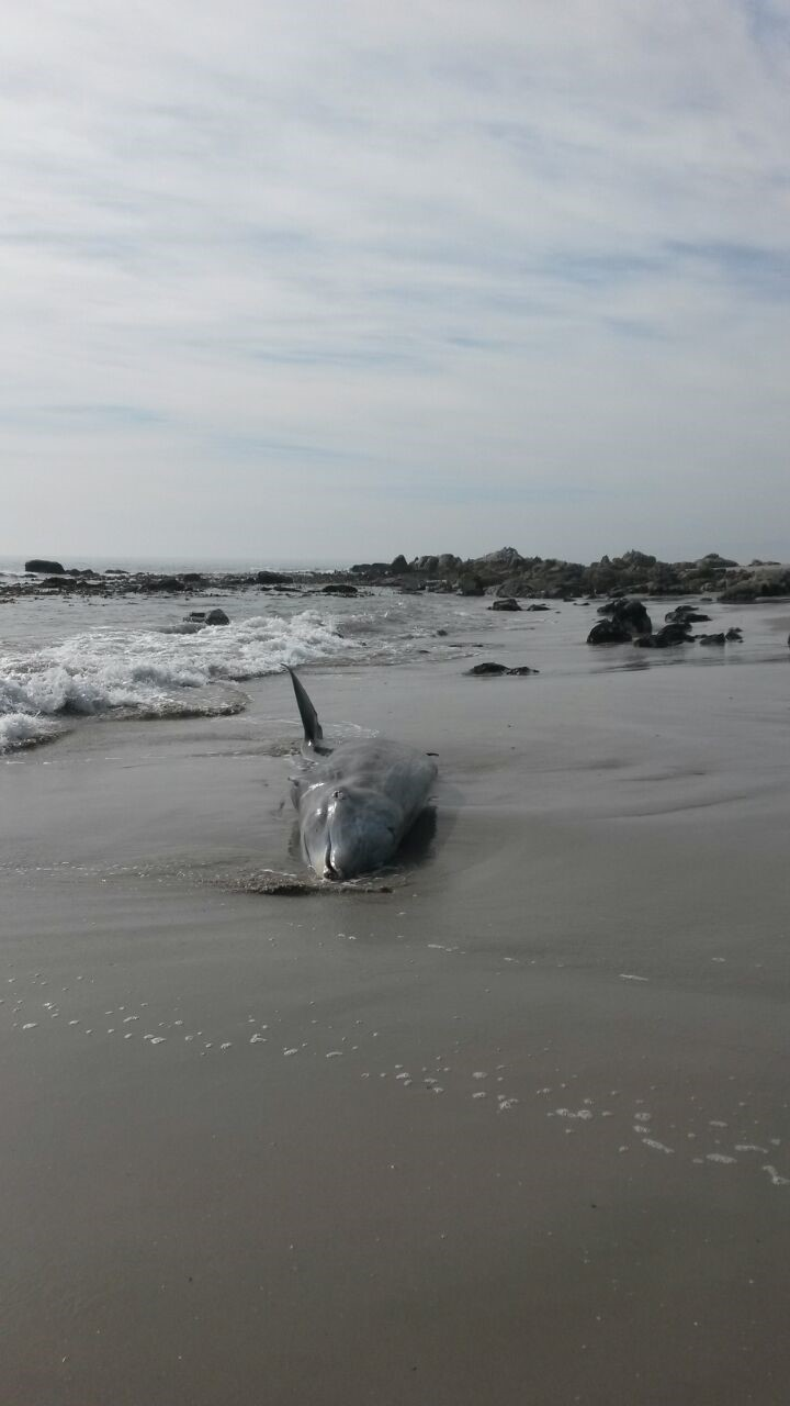 Beached whale carcass