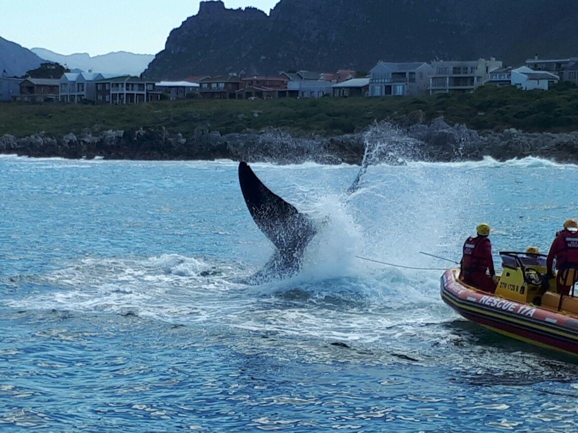 Whale disentangled - Kleinmond: - NSRI