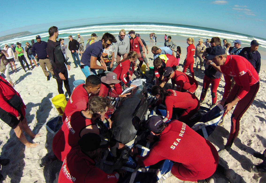 Sea Rescue is assisting the Department of Environment Oceans and Coasts, and other organisations, with the 19 Pilot whales which beached at Noordhoek on Sunday 24 March 2013). Picture Luke Van Riet/NSRI.