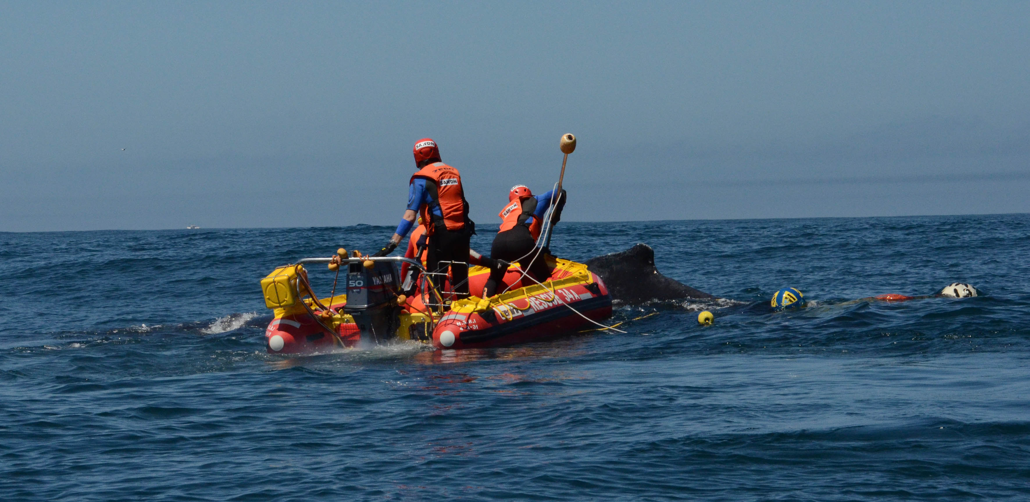 SA Whale Disentanglement Network (SAWDN) were activated following reports of a whale entangled in rope and seven floatation buoys South East of Dassen Island on the West Coast. The juvenile Hump Back was cut free just before 15h00. Picture by Environmental Affairs.
