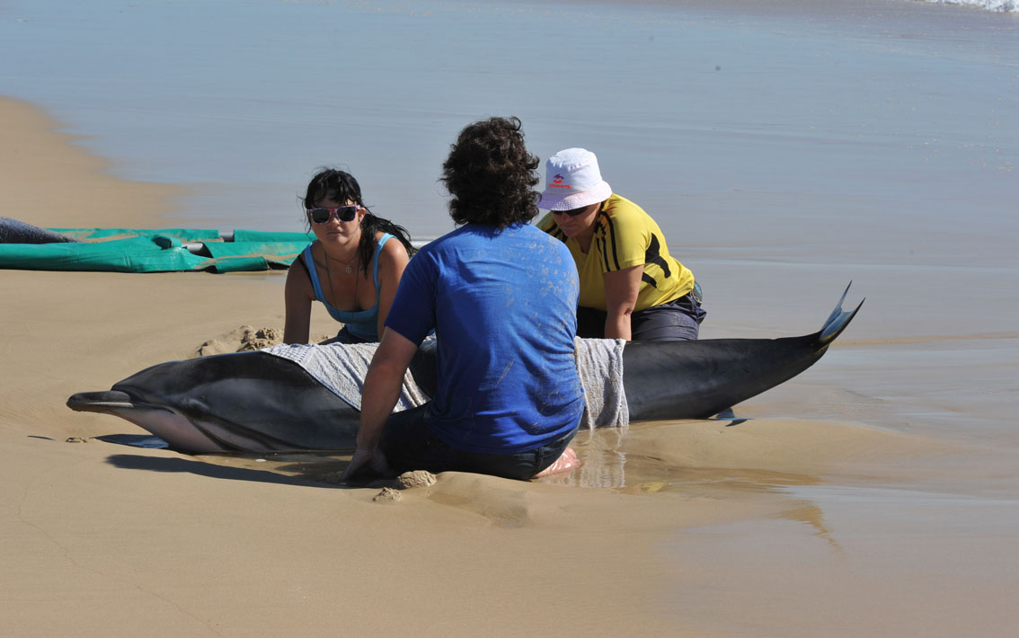 NSRI Port Elizabeth helped to get a Striped Dolphin back into the sea at Kings Beach. Photographs by BARNEL PHOTOGRAPHERS.
